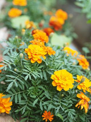marigold1106-2.jpg